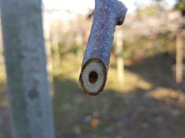 キウイの枝切り作業